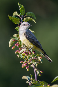 Western Kingbird - species 161 for the year.  A rarity on the island it looks like we have a nesting pair raising three young in the Cowichan Valley.