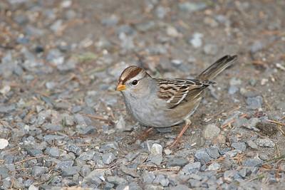 Chipping Sparrow, Spizella passerina
