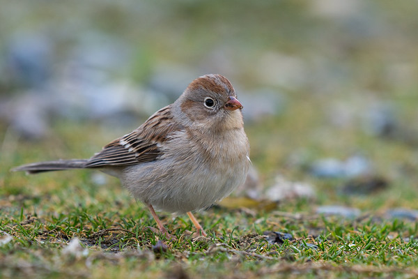 Field Sparrow - only the second record for British Columbia and first for Vancouver Island