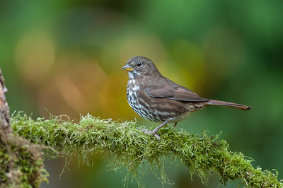 Fox Sparrow 5238