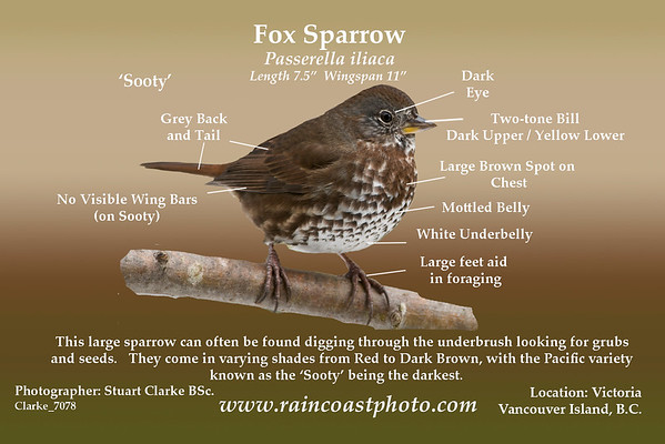 Fox Sparrow, Passerella iliaca  This large sparrow can often be found digging through the underbrush looking for grubs  and seeds. They come in varying shades from Red to Dark Brown, with the Pacific variety  known as the 'Sooty' being the darkest
