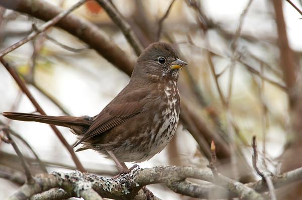 Fox Sparrow, Passerella iliaca