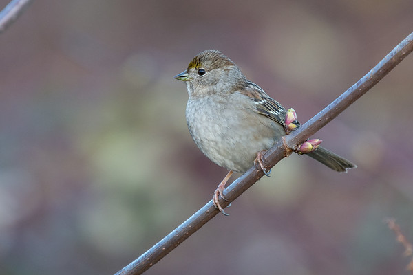 Golden-crowned Sparrow - non-breeding
