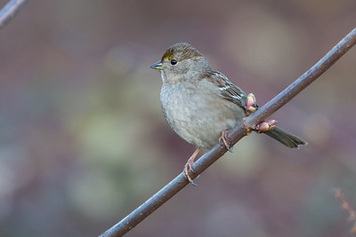 Golden-crowned Sparrow - non-breeding