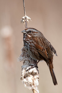 Song Sparrow, Melospiza melodia