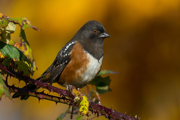 Spotted Towhee with fall colours in the background