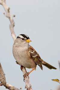 White-crowned Sparrow, Zonotrichia leucophryus