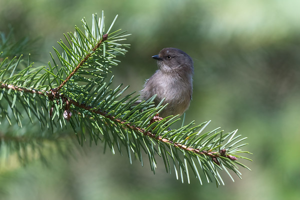 Coastal Bushtit female