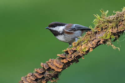 Chestnut -backed Chickadee