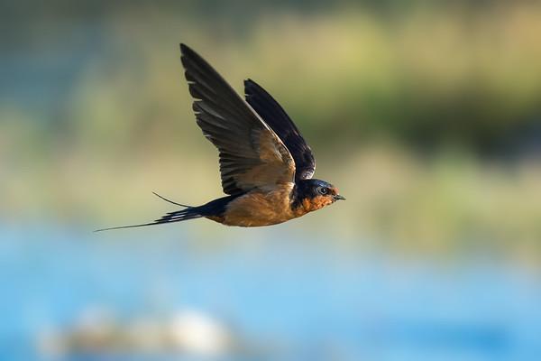 Barn Swallow - adult in-flight