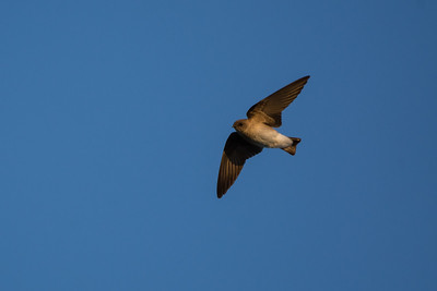 Northern Rough-winged Swallow - First sighting of the year