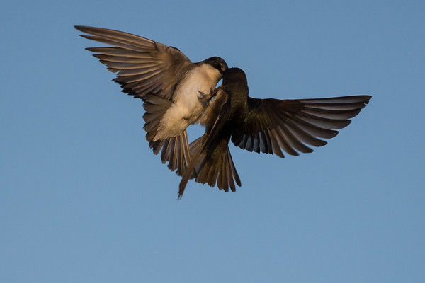 Tree Swallows - the battle over box 19