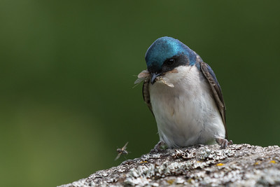 Tree Swallow- I love this photo of the male swallow returning to the nest with a bill full of insects when this fly flew right at his feet , he couldn't resist, he caught it but it managed to get away