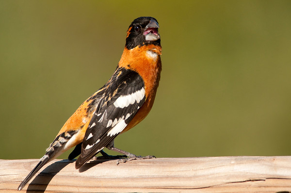 Black-headed Grosbeak, Pheucticus melanocephalus