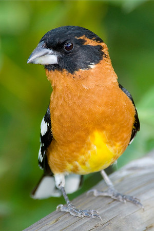 Black-headed Grosbeak- Pheucticus melanocephalus  The male Black-headed Grosbeak is a striking bird in its  black and orange plumage. These solitary birds are more  often heard then seen as they call out from the forest  canopy, while they forage for insects, seeds and berries.  An occassional visitor to backyard bird feeders, their  overall large size and large bill makes them stand out  against the usual feeder birds