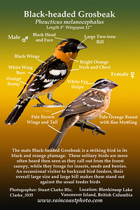 The male Black-headed Grosbeak is a striking bird in its  black and orange plumage.  These solitary birds are more  often heard then seen as they call out from the forest canopy, while they forage for insects, seeds and berries. An occassional visitor to backyard bird feeders, their  overall large size and large bill makes them stand out against the usual feeder birds