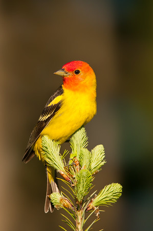 Western Tanager in evening light