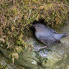 American Dipper - male feeding the nest