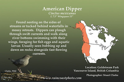 Found nesting on the sides of streams or tucked behind waterfalls in mossy retreats.  Dippers can plough through swift currents and walk along river bottoms swimming with their wings, foraging for fish eggs and aquatic larvae. Usually seen bobbing up and down on rocks alongside fast flowing currents.