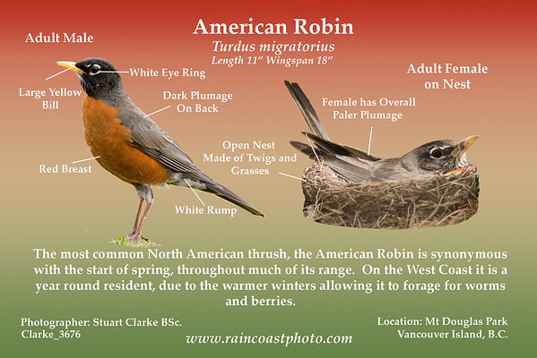 American Robin- Turdus migratorius The most common North American thrush, the American Robin is synonymous with the start of spring, throughout much of its range.  On the West Coast it is a year round resident, due to the warmer winters allowing it to forage for worms and berries.