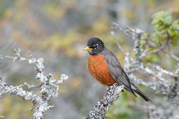 American Robin, Turdus migratorius