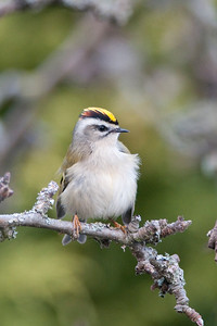 Golden, crowned, Kinglet, Regulus satrapa