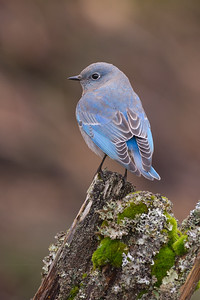 Moutain Bluebird- a rare visitor to Vancouver Island especially in the winter months
