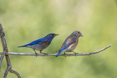 Western Bluebird male and female