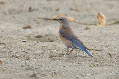 Western Bluebird  - female