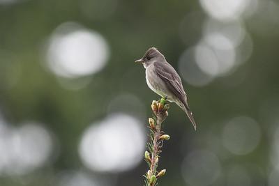 Olive-sided Flycatcher  - species 159