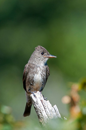 Olive-sided Flycatcher, Contopus cooperi