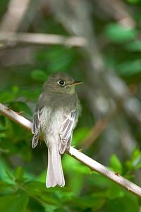 Pacific Slope Flycatcher - Empidonax difficilis