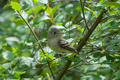 Pacific Slope Flycatcher - Empidonax difficilis