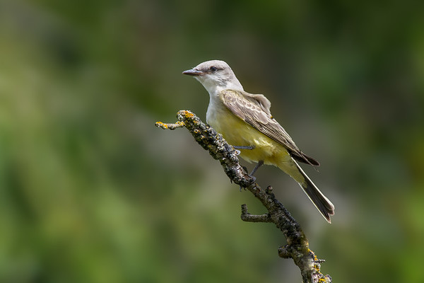 Western Kingbird - species 161 for the year.  A rarity on the island it looks like we have a nesting pair raising three young in the Cowichan Valley.   I was lucky to arrive a few minutes before a big storm front moved in and able to catch a few shots as the wind picked up.  Hopefully tomorrows forecast will end up being what they say for once this month, and I will get a chance to try again.