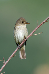 Willow Flycatcher -   The one thing I never really took into consideration when deciding on doing a photo big year was the time commitment not only in getting out and finding the birds but also in the photo processing and posting.  I shoot a lot as it is but this year I have definitely stepped it up a notch or two, especially in the first few months of the year.  I figured by keeping my focus on the Cowichan Valley with a few side trips I would at least limit my time in a vehicle and to this end i have so far managed to stick to my goals.  At last count I was up over 600km hiked for the year and over 100,000 images taken of 158 species of birds with over 90 of the those being the top shots I have for that species, which was the real goal of the year to begin with.