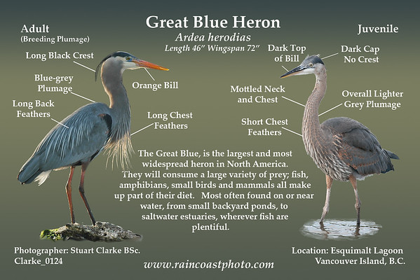 The Great Blue, is the largest and most  widespread heron in North America.  They will consume a large variety of prey; fish, amphibians, small birds and mammals all make up part of their diet.   Most often found on or near  water, from small backyard ponds, to  saltwater estuaries, wherever fish are plentiful.