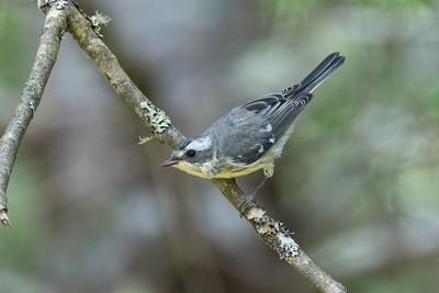 Juvenile Black-throated Grey Warbler