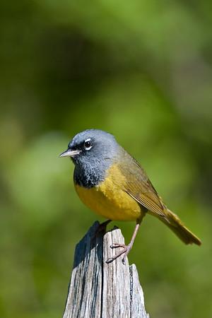 MacGillivray's Warbler- Oporonis tolmiei