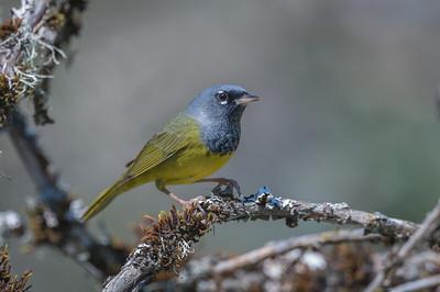 MacGillivary's Warbler