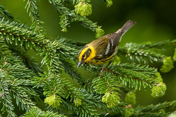 Townsend Warbler