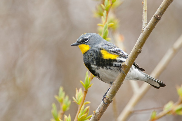 Yellow-rumped, Warbler, Dendroica coronata