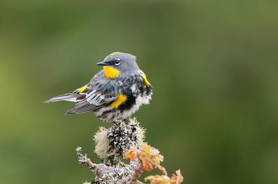 Yellow rumped warbler 1890