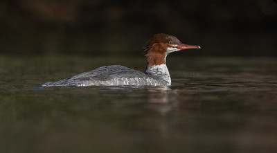 Merganser juvenile female