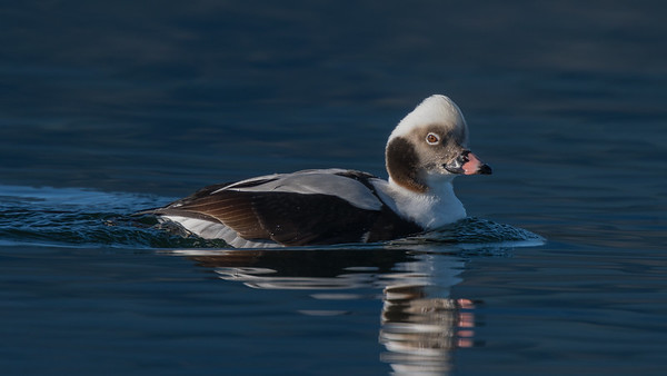 Long-tailed Duck close up.