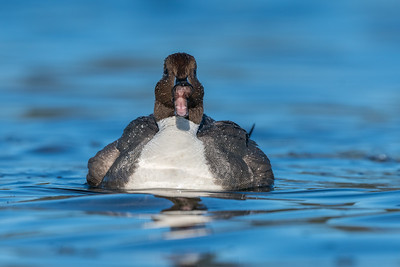Not your average portrait of a Pintail.