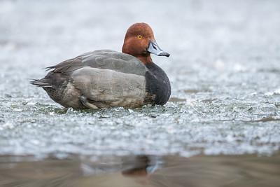 Redhead on ice.