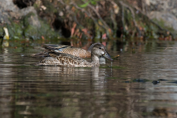 Blue-winged Teal - Female