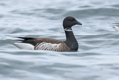 Brant - species 123 for the year.  I made a quick stop at Islandview beach after restocking a couple of accounts.  Unfortunately the light was not great for photographing birds on the water and a rolling surf made it challenging as well, but I was happy to get a few decent shots of the large flock of Brant congregating off shore to recharge on their long flight north.
