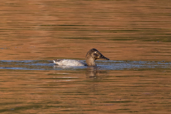 Canvasback - another day of longshots, the bulrushes and water levels made getting any closer impossible without a boat.  Distant but I will take it for species 183 for the year.  These longshots will give me something to go for next year at the very least.