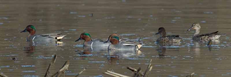 Eurasian Teal with Green Winged Teal